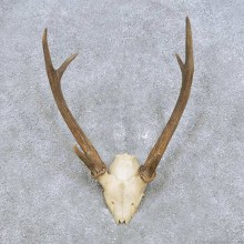Japanese Sika Deer Horn Mount For Sale #14442 @ The Taxidermy Store