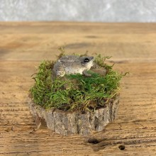 Juvenile Bullfrog Taxidermy Mount For Sale #21404 @ The Taxidermy Store