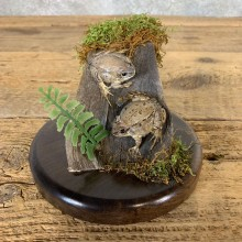 Juvenile Bullfrog Taxidermy Mount For Sale #21552 @ The Taxidermy Store