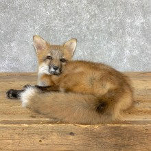 Juvenile Red Fox Life-Size Mount For Sale #22997 @ The Taxidermy Store