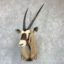 Kalahari Gemsbok Oryx Shoulder Mount For Sale #23131 @ The Taxidermy Store
