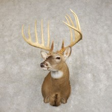 Kansas King Reproduction Shoulder Mount #21731 For Sale - The Taxidermy Store