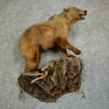 "Kermode ""Spirit"" Bear Life-Size Taxidermy Mount For Sale"