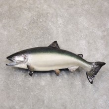 King Salmon Fish Mount For Sale #22210 @ The Taxidermy Store