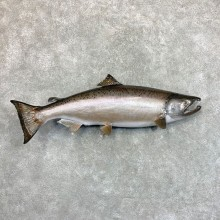 "45"" King (Chinook) Salmon Fish Mount For Sale"