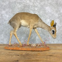 Kirk's Dik-Dik Life-Size Mount For Sale #23183 @ The Taxidermy Store