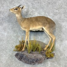 Kirk's Dik-Dik Life-Size Mount For Sale #23290 @ The Taxidermy Store