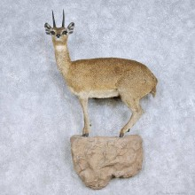 Klipspringer Life Size Taxidermy Mount For Sale #13984 @ The Taxidermy Store