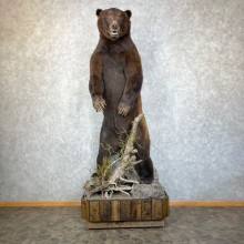 Kodiak Brown Bear Life Size Taxidermy Mount For Sale #24475 @ The Taxidermy Store