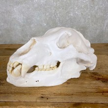 Kodiak Brown Bear Skull For Sale #24409 @ The Taxidermy Store