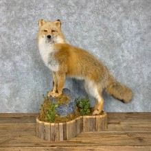Kodiak Island Red Fox Life-Size Mount For Sale #23497 @ The Taxidermy Store