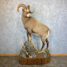 Kolyma Snow Sheep Life-Size Taxidermy Mount #23655 For Sale - The Taxidermy Store