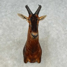 Topi Shoulder Taxidermy Mount For Sale