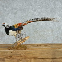 Standing Lady Amherst Pheasant Life Size Mount #13528 For Sale @ The Taxidermy Store