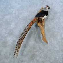 Lady Amherst Pheasant Bird Mount For Sale #15529 @ The Taxidermy Store