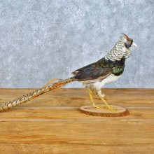Lady Amherst Pheasant Bird Mount For Sale #15414 @ The Taxidermy Store