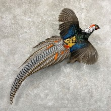 Lady Amherst Pheasant Taxidermy Bird Mount For Sale