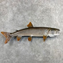 Lake Trout Freshwater Fish Mount For Sale #24399 @ The Taxidermy Store