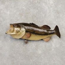 Largemouth Bass Fish Mount For Sale #20346 @ The Taxidermy Store