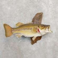 Largemouth Bass Fish Mount For Sale #20920 @ The Taxidermy Store
