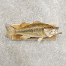 Largemouth Bass Fish Mount For Sale #20976 @ The Taxidermy Store