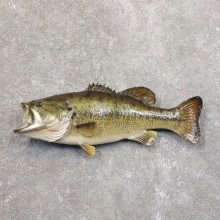 Largemouth Bass Fish Mount For Sale #22212 @ The Taxidermy Store