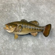 Largemouth Bass Fish Mount For Sale #22767 @ The Taxidermy Store