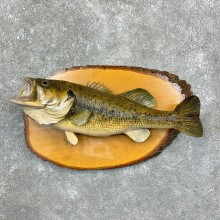 Largemouth Bass Fish Mount For Sale #23165 @ The Taxidermy Store