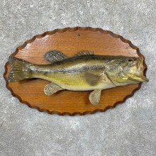 Largemouth Bass Fish Mount For Sale #23565 @ The Taxidermy Store