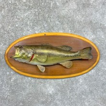 Largemouth Bass Fish Mount For Sale #23566 @ The Taxidermy Store