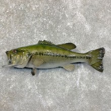 Largemouth Bass Fish Mount For Sale #23832 @ The Taxidermy Store