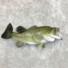 Largemouth Bass Fish Mount For Sale #23833 @ The Taxidermy Store