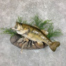Largemouth Bass Fish Mount For Sale #23844 @ The Taxidermy Store