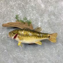 Largemouth Bass Fish Mount For Sale #23888 @ The Taxidermy Store