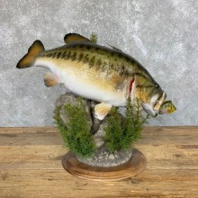Largemouth Bass Fish Mount For Sale #23907 @ The Taxidermy Store