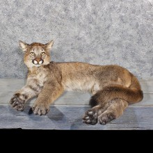Mountain Lion Cougar Mount #11619 - For Sale @ The Taxidermy Store