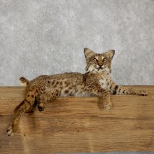 Laying Bobcat Life Size Mount #19493 For Sale @ The Taxidermy Store