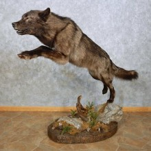 Black Alaskan Wolf Mount For Sale #14909 @ The Taxidermy Store