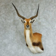 Southern Lechwe Wall Pedestal Taxidermy Mount #13316 For Sale @ The Taxidermy Store
