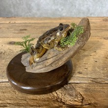 Leopard Frog Taxidermy Mount For Sale #21365 @ The Taxidermy Store