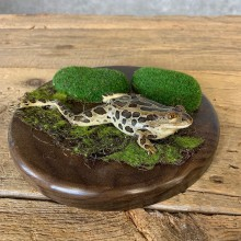 Leopard Frog Taxidermy Mount For Sale #21371 @ The Taxidermy Store