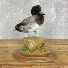 Lesser Scaup Duck Bird Mount For Sale #22909 @ The Taxidermy Store