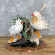 Leucistic Mandarin Duck Pair Mount For Sale #21999 @ The Taxidermy Store