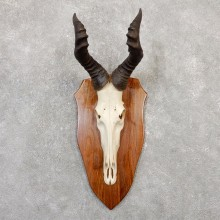 Lichtenstein Hartebeest Skull & Horn European Mount For Sale #20049 @ The Taxidermy Store