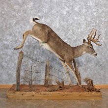 Whitetail Deer Life Size Mount #12316 For Sale @ The Taxidermy Store