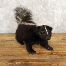 Life-Size Skunk Taxidermy Mount #18792 For Sale @ The Taxidermy Store