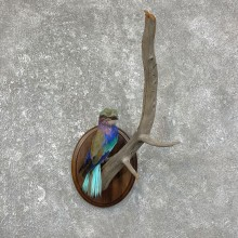 Lilac-Breasted Roller Life-Size Taxidermy Mount For Sale #25242 @ The Taxidermy Store