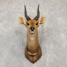Limpopo Bushbuck Shoulder Mount For Sale #20150 @ The Taxidermy Store