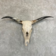 Longhorn Steer Skull European Mount For Sale #24239 @ The Taxidermy Store