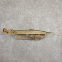 Longnose Gar Fish Mount For Sale #20900 @ The Taxidermy Store